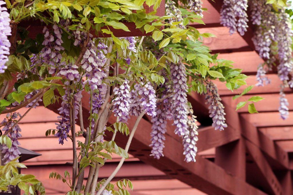 Fleurs de lila sur un toit de pergola